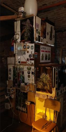 Una serra di marijuana e cannabis, con tanto di musica: classica e reggae