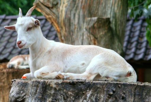Rubano 45 capre da un'azienda agricola