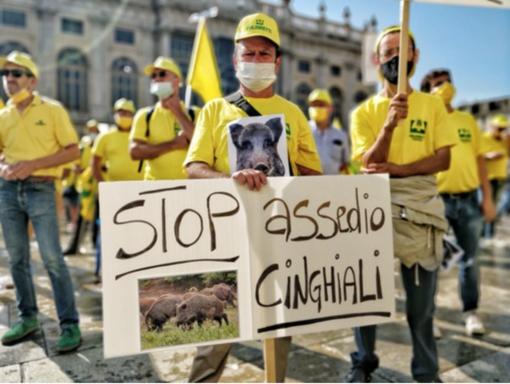 """Cinghiali, la protesta di Coldiretti: """"Danni in aumento, serve intervenire subito"""""""