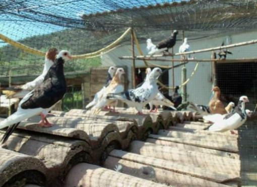 Abbandonati in un campo 16 colombi con le ali spuntate