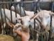 Un viaggio nel mondo del formaggio di capra, dove il rispetto per l'ambiente e per gli animali sposa tradizione e innovazione
