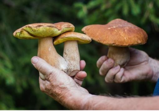 Intossicazione da funghi: esperti micologi al fianco dei medici