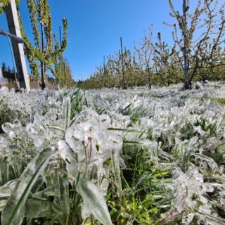 Gelate di aprile: riconosciuto lo stato di calamità per vercellese e biellese