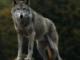Un lupo sulle colline di Moncrivello?