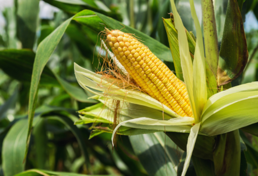 Mais: ogni ettaro coltivato toglie dall'aria 500 chili di anidride carbonica