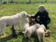 Maremmani e bracchetti: due cucciolate da adottare