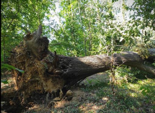 Alberi sradicati, sentieri inagibili: il disastro al Bosco della Partecipanza - FOTO