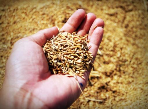 Riso cambiogiano: dalla Commissione Agricoltura della Camera l'appoggio alla filiera italiana