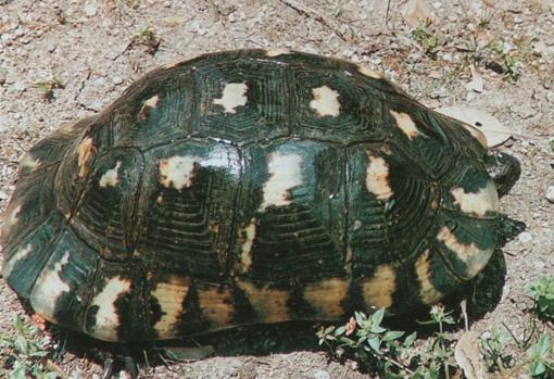 E' in letargo la tartaruga da dissequestrare: se ne riparla in primavera
